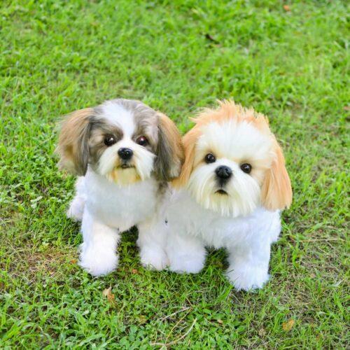 Shih Tzu Stuffed Animal Clone